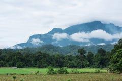 plantation de maïs dans le domaine culture de maïs dans la ferme d'agriculture Photographie stock libre de droits