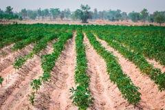 Plantation de manioc au nord-est de la Thaïlande Images stock