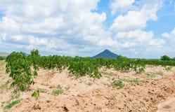 Plantation de manioc cultivant, élevage du manioc Photo stock