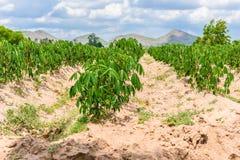 Plantation de manioc cultivant, élevage du manioc Image libre de droits