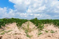 Plantation de manioc cultivant, élevage du manioc Photo libre de droits