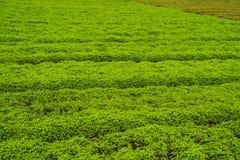 Plantation de menthe poivrée organique pour le fond, élevage de menthe fraîche Photographie stock
