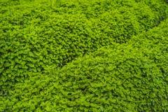 Plantation de menthe poivrée organique pour le fond, élevage de menthe fraîche Photos stock