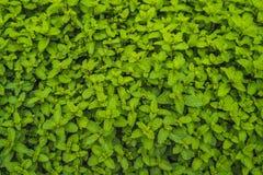 Plantation de menthe poivrée organique pour le fond, élevage de menthe fraîche Images stock