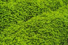 Plantation de menthe poivrée organique pour le fond, élevage de menthe fraîche Image stock