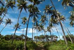 Plantation de noix de coco Photographie stock libre de droits