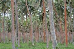 Plantation de noix de coco Image stock