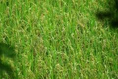 Plantation de paddy Photos libres de droits