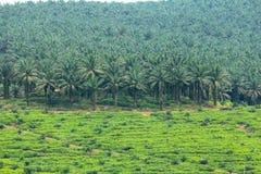 Plantation de palmier à huile Photo stock