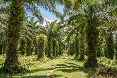 Plantation de palmier à huile Images stock
