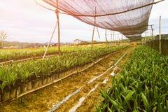 Plantation de palmier à huile ou ensemencement de palmier à huile Photographie stock