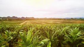 Plantation de palmier à huile ou ensemencement de palmier à huile Images libres de droits