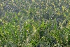 Plantation de palmier à huile Images libres de droits