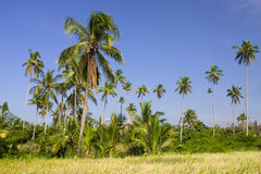 Plantation de palmiers de noix de coco Image libre de droits