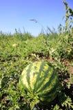 Plantation de pastèque photographie stock