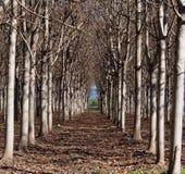 Plantation de Paulownia Photos libres de droits