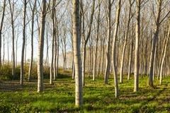 Plantation de peupliers Image libre de droits