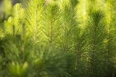 Plantation de pin Photographie stock