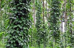 Plantation de poivre noir Photographie stock libre de droits