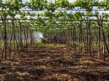 Plantation de raisin image libre de droits