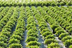 Plantation de ressort photographie stock libre de droits