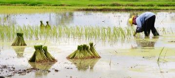Plantation de riz photographie stock