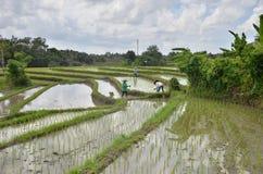 Plantation de riz Images stock