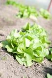 Plantation de salade verte Images stock