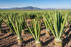 Plantation de sisal Photo stock