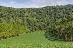 Plantation de soja et forêt d'eucalyptus et de pin images stock