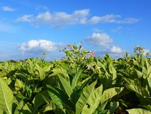 Plantation de tabac Photos stock