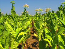 Plantation de tabac Photographie stock