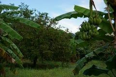 Plantation 2 de tamarinier Photographie stock libre de droits