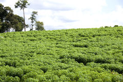 Plantation de tapioca Photos stock