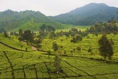 Plantation de thé à Bandung Photos stock