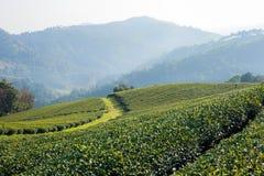 Plantation de thé à la lumière du soleil de matin image libre de droits