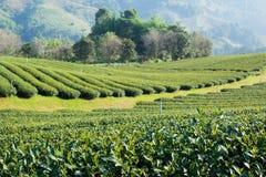 Plantation de thé à la lumière du soleil de matin photo stock