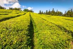 Plantation de thé à Porto Formoso sur la côte du nord de l'île Image libre de droits
