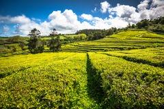 Plantation de thé à Porto Formoso sur la côte du nord de l'île Photos stock