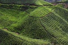 Plantation de thé Photographie stock