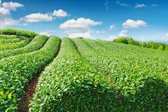Plantation de thé photos libres de droits