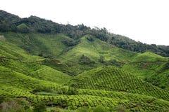 Plantation de thé 5 Photos libres de droits