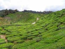 Plantation de thé image libre de droits