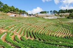 Plantation de thé Photographie stock libre de droits
