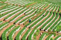 Plantation de thé Image stock