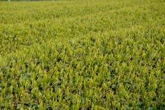 Plantation de thé au Japon Images libres de droits