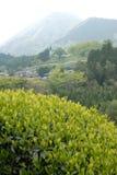 Plantation de thé au Japon Photos stock