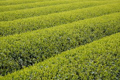 Plantation de thé au Japon Photographie stock libre de droits