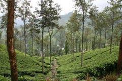 Plantation de thé au Sri Lanka Image stock