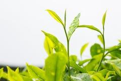Plantation de thé avec le foyer sur des pousses de feuille de thé Photo stock